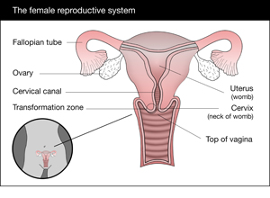 A graphical representation of the female reproductive system